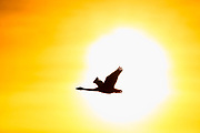 A trumpeter swan (Cygnus buccinator) is rendered in silhouette as it flies against the sun in the Skagit Valley of Washington state. The swans breed in the northern reaches of Canada and Alaska, and a large population of them winters in northern Washington state. Trumpeter Swans average more than 5 feet (152 cm) in length and can weigh up to 30 pounds (13 kg), making them the longest and heaviest living bird native to North America.