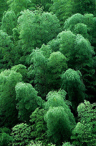 China, Bamboo forest in the Yellow mountains. near city of Hangzhou.