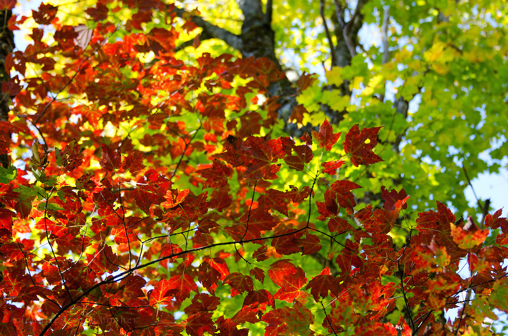 Vivid Red Maple autumn foliage (Acer rubrum) against acid green background, Baxter State Park, Maine.