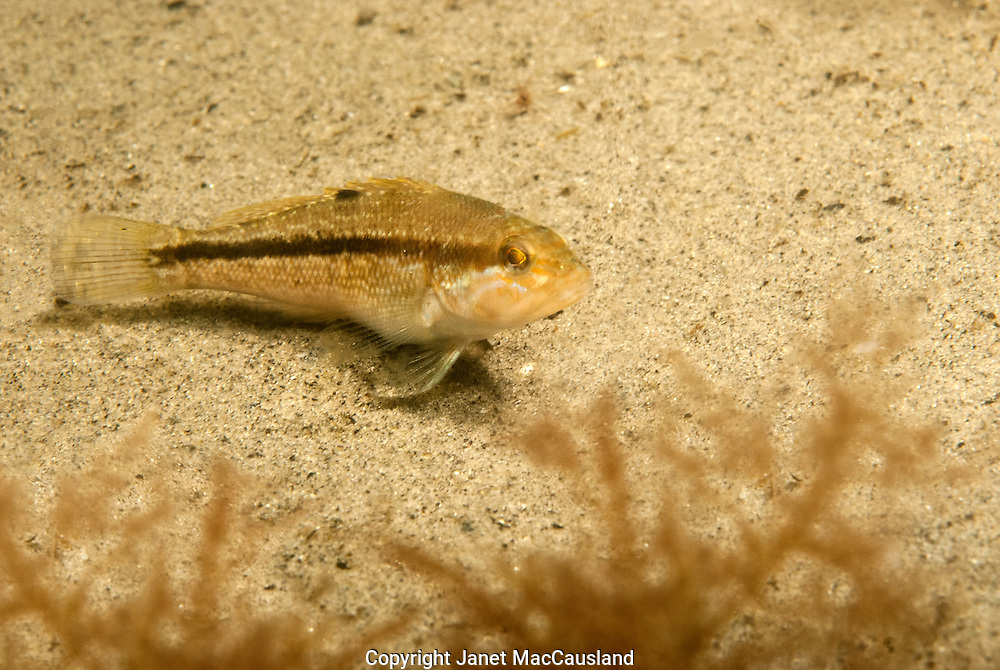 A Juvenile Black Bass rests in the sandy cove, Narraganset Bay, Rhode Island. These bass have a continuous dorsal fin. The dark stripe on these juveniles will fade. Bars are usually more evident. This one may grow to over 2 feet. They are bottom feeders.