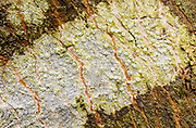 Bark Barnacle -- Continuous smooth crust, Barnacle-like apothecia