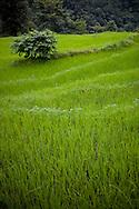 Green rice fields, Annapurna Sanctuary, Nepal