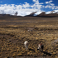 South America, Peru, Salinas and Aguaga Blanca National Reserve. Llamas of Peru.