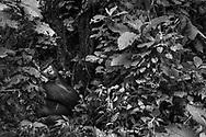 Ein Silberrücken Berggorilla (Gorilla beringei beringei) sitzt zwischen dichter Vegetation, Bwindi Forest, Uganda<br /> <br /> A silverback mountain gorilla (Gorilla beringei beringei) sits between dense vegetation, Bwindi Forest, Uganda