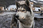 Husky<br /> Longyearbyen<br /> Svalbard<br /> Norway<br /> Arctic Ocean