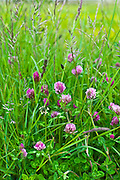 Clover and grasses at Mountrivers peat bog, County Clare, West of Ireland