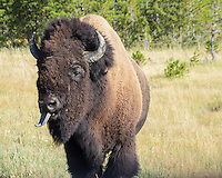 A buffalo in Yellowstone sticks out its long tongue.