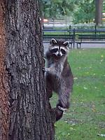 Raccoon near the Mall in Central Park