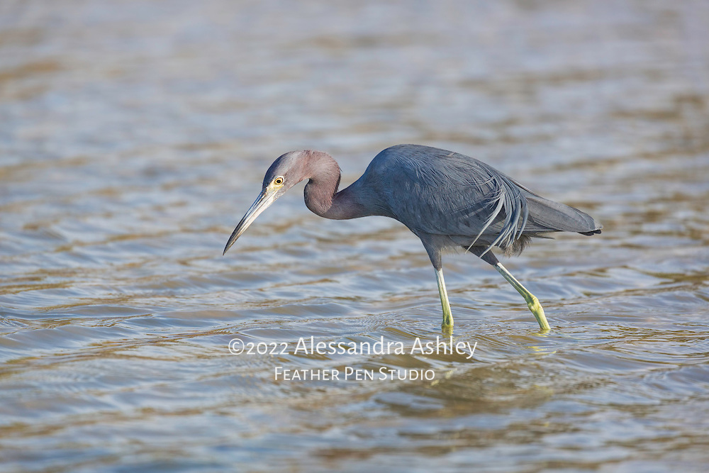 Little blue heron (Egretta caerulea) with spring plumage, fishing in shallows at Bunche Beach Preserve, Ft. Myers, FL.
