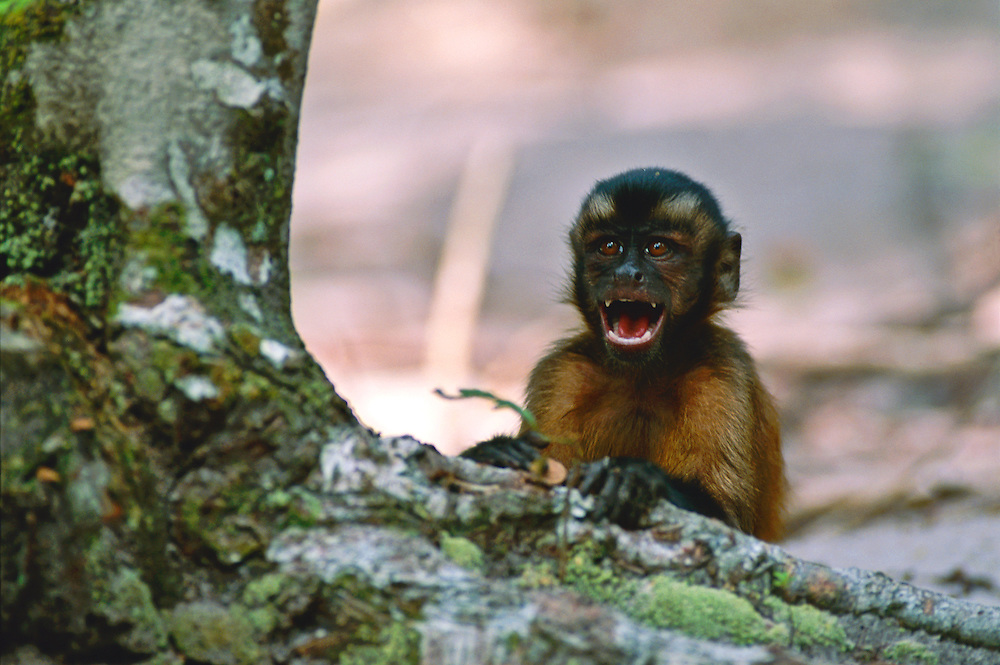 A monkey in the trees of the Amazon rainforest.