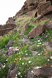 Wildflowers growing on cliffs at The Lizard Peninsula, Cornwall. Including chives, wild carrot, sorrel
