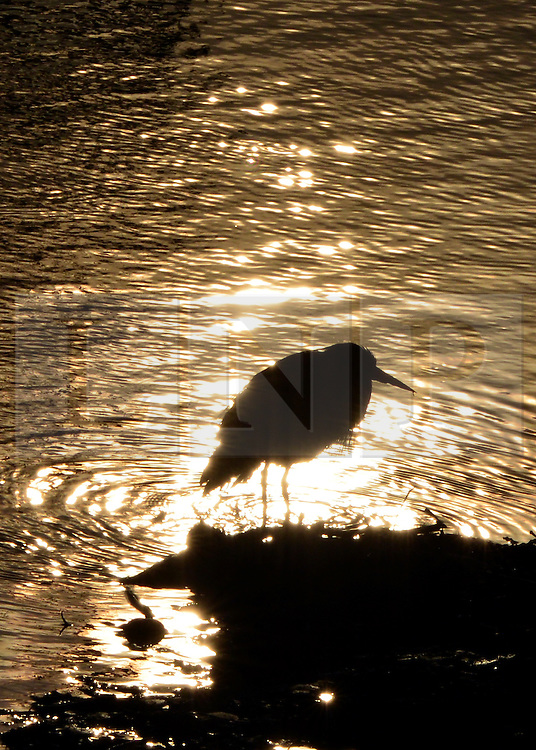 © Licensed to London News Pictures. 07/04/2013. Hammersmith, UK A heron searches for food in the bright sunshine. Rowers in the early morning sunshine on the River Thames in Hammersmith, West London, this morning 7th April. Photo credit : Stephen Simpson/LNP