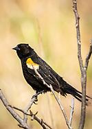 Yellow-winged blackbird sunning itself in Curtis Prairie, UW-Madison Arboretum, Sunday, May 3, 2020.