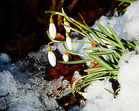 Snow Drop Flowers in the Snow Waiting for Spring. Image taken with a Nikon 1 V2, FT1 adapter, and 28-300 VR lens (ISO 160, 300 mm, f/5.6, 1/320 sec)