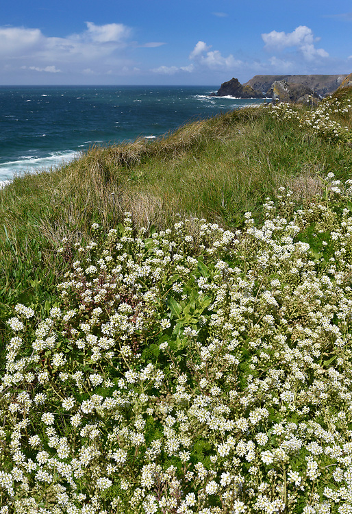 Common Scurvy-grass - Cochlearia officinalis
