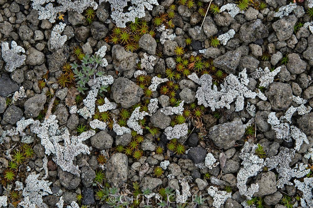 Juniper Haircap Moss (Polytrichum juniperinum) and lichens at the alpine zone of Cotopaxi volcano. Pichincha, Ecuador.