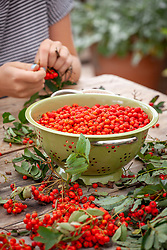 Stripping rowan berries