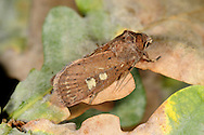 Square-spot Rustic Xestia xanthographa Length 17-19mm. A variable moth that rests with its wings held flat, one forewing partly overlapping the other. Adult has forewings that can range from reddish brown to grey-brown; all forms show a squarish pale spot and a pale kidney-shaped spot on the forewings. Flies August-September. Larva feeds on low-growing herbaceous plants. Widespread and common.