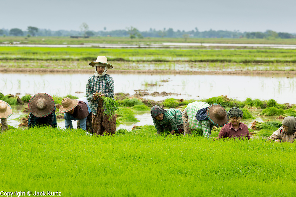 14 JUNE 2013 -  PANTANAW, AYEYARWADY, MYANMAR: Workers harvest baby rice plants for replanting in a field near Pantanaw, Myanmar. Much of the agricultural industry in Myanmar still uses human and animal power to get work done, compared to neighboring Thailand, where the most of the work is mechanized. After decades of military mismanagement that led to years of rice imports, Myanmar (Burma) is on track to become one of the world's leading rice exporters in the next two years and could challenge traditional rice exporter leader Thailand. Political and economic reforms have improved rice yields and new mills are being built across the country. Burmese eat more rice than any other people in the world. The average Burmese consumes 210 kilos of rice per year and rice makes up 75 percent of the diet.   PHOTO BY JACK KURTZ