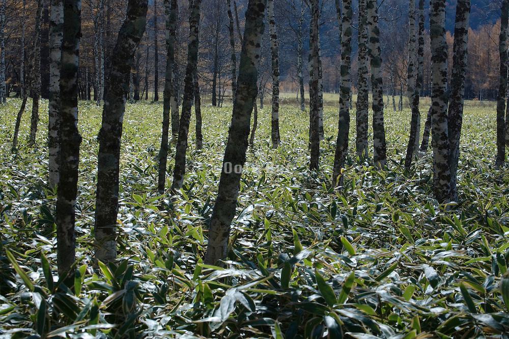 tree trunks in woods with dense Kumazasa undergrowth Japan