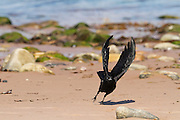 Carrion crow taking off from the beach at Cromarty, on the Black Isle, Scotland.