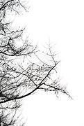 Bare tree on white
