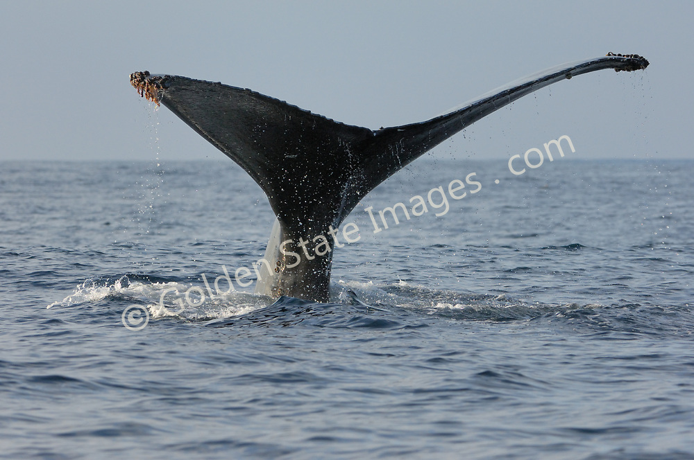Humpback raises its fluke in preparation for a dive.  <br /> <br /> Range: Can be found nearly worldwide. In the Pacific from the Bering Sea to Southern Mexico and Hawaii. <br /> <br /> Species: Megaptera novaeangliae