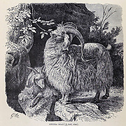The Angora goat is a breed of domesticated goat, historically known as Angora. Angora goats produce the lustrous fibre known as mohair. From the book ' Royal Natural History ' Volume 2 Edited by Richard Lydekker, Published in London by Frederick Warne & Co in 1893-1894