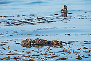 California sea otter, Enhydra lutris nereis ( threatened species ), female wrapped in kelp to hold her in place while sleeping; male in background spyhops to locate her; Morro Bay, California, United States ( Eastern Pacific )
