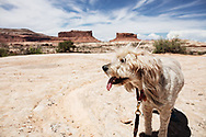 fluffy dog in desert with buttes background off of Grand View Point Rd Moab UT