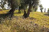 Wild carrot (Daucus carota) growing under olive trees on the Orkos Estate, Paxos, Greece, Europe