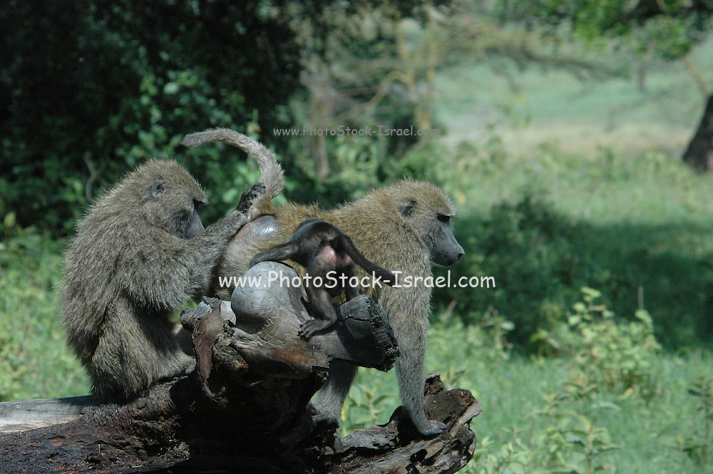 Kenya, Lake Nakuru National Park, Olive Baboon and very young baby, February 2007