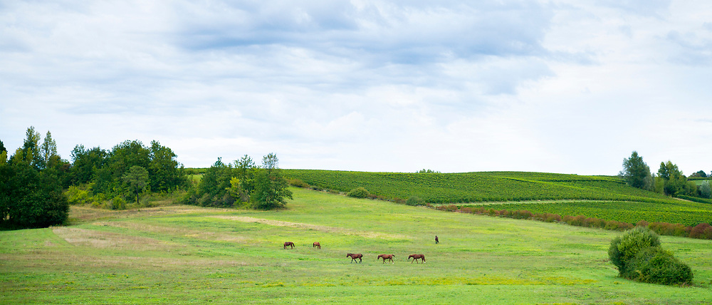 Herd of horses in a meadow in French landscape in Aquitaine, France