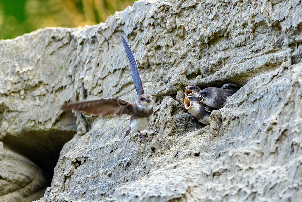 Hungry sand martin chicks (Riparia riparia) screaming for their mother to return with food. Photo from south-western Norway in August.