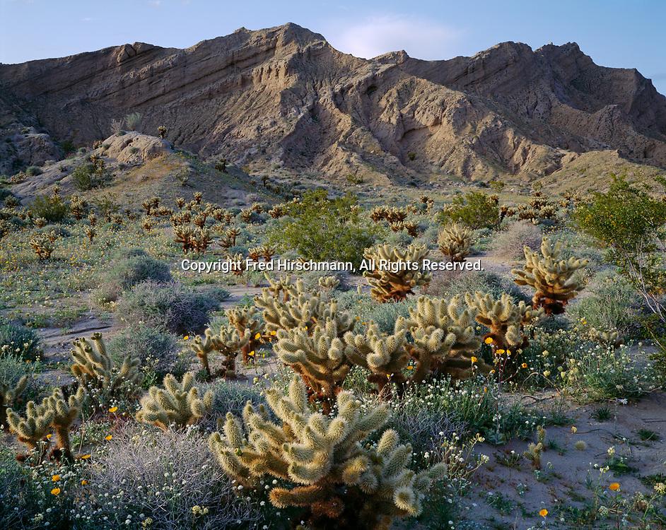 Teddy Bear Cholla, Cylindropuntia bigelovii, with Chaenactis, Desert Sunflowers and Brown-eyed Evening Primrose, Vallecito Mountains near June Wash, Anza-Borrego Desert State Park, California.