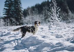 THEMENBILD - ein 5 Monate alter Hund (Australian Shepherd) im Schnee, ,aufgenommen am 21. November 2020 in Mittersill, Oesterreich // a 5 month old dog (Australian Shepherd) in the snow, in Mittersill, Austria on 2020/11/21. EXPA Pictures © 2020, PhotoCredit: EXPA/Stefanie Oberhauser