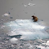 North America, USA, Alaska. Fur seal on ice, Alaksa.