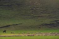 Mongolian Shepherd on horseback, and his sheep, on grassland steppe, Bayanbulagu Gatcha, Inner Mongolia, China
