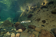 Steelhead<br /> <br /> Fernando Lessa/Engbretson Underwater Photography