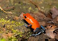 Strawberry Poison Dart Frog, Oophaga pumilio