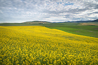 Fields of yellow canola Palouse Region  Washington
