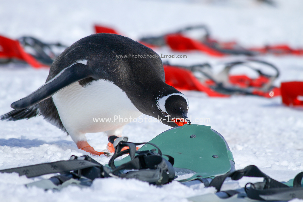 Curious Gentoo penguins (Pygoscelis papua). inspects the groups snow shoes equipment. Photographed on Cuverville Island, Antarctica