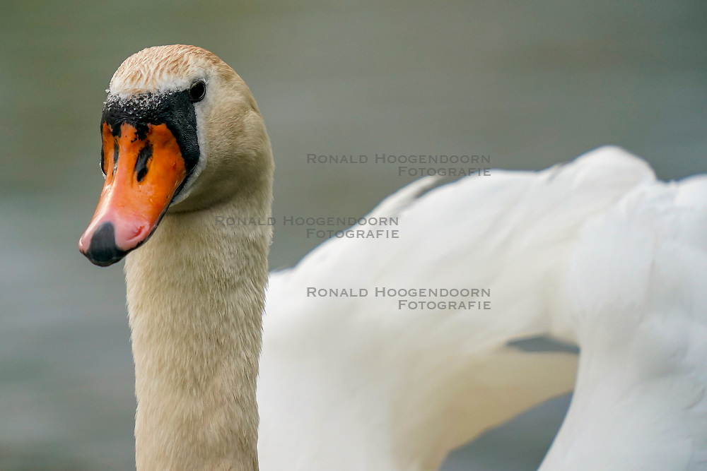 02-05-2019 NED: Nature around your garden, Maarssen<br /> Testing your new Sony A9 / The mute swan is the duck-like one that you often see in city parks and ditches. He is one of the heaviest birds that can still fly