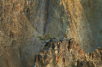 Lone tree perched precariously on knife edge cliff in th Grand Canyon of the Yellowstone, Yellowstone National Park