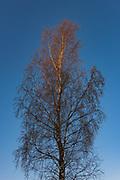 Bright orange sunrise shines over top of birch tree (Betula sp.) against the blue sky, near Mazgramzda, Kurzeme, Latvia Ⓒ Davis Ulands | davisulands.com