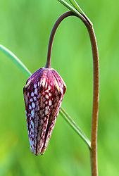 The bud of Fritillaria meleagris - Snakeshead fritillary