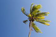 Coconut palm against a clear blue sky, on the island of Rarotonga, in the Cook Islands.