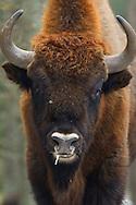 European bison, Bison bonasus, Drawsko Military area, Western Pomerania, Poland