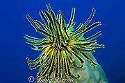 noble feather star or crinoid, Comanthina nobilis, Surin Islands, Thailand, ( Andaman Sea, Indian Ocean )