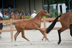 042, Kafarusa H<br /> Nationale Veulenkeuring, merrieveulens springen <br /> KWPN Paardendagen Ermelo 2015<br /> © Hippo Foto - Leanjo de Koster